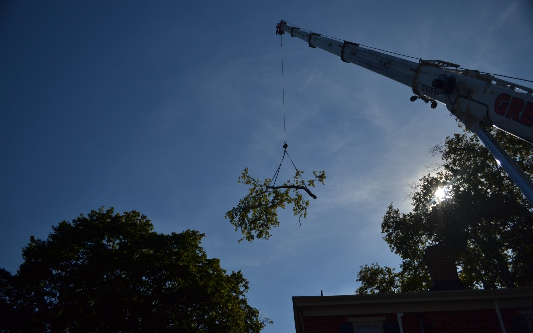 Century Old Sycamore Tree Removal