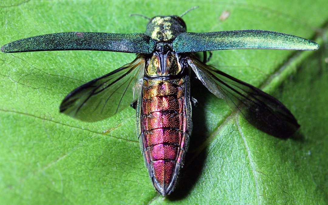 The What's What of Emerald Ash Borers