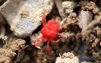 A Tiny Pest, a Big Problem