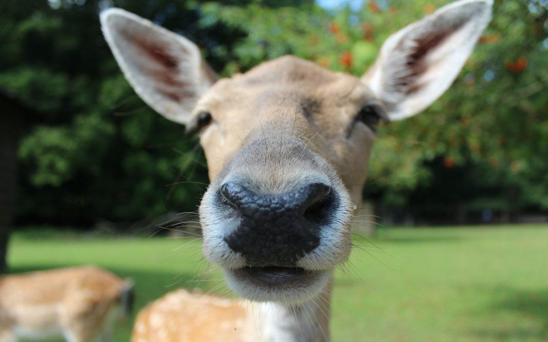 No, Deer