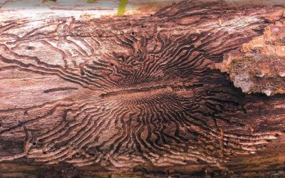 Emerald Ash Borer: The Warning Signs