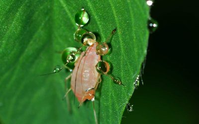 All About Aphids