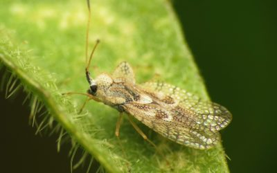 Lace Bug: Pretty Pests That Make for Ugly Plants
