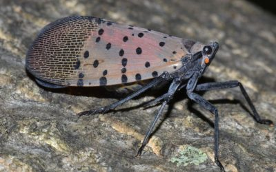 Shedding Light on the Pennsylvania Lanternfly Invasion