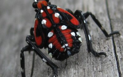 The Latest on the Pennsylvania Spotted Lanternfly Invasion