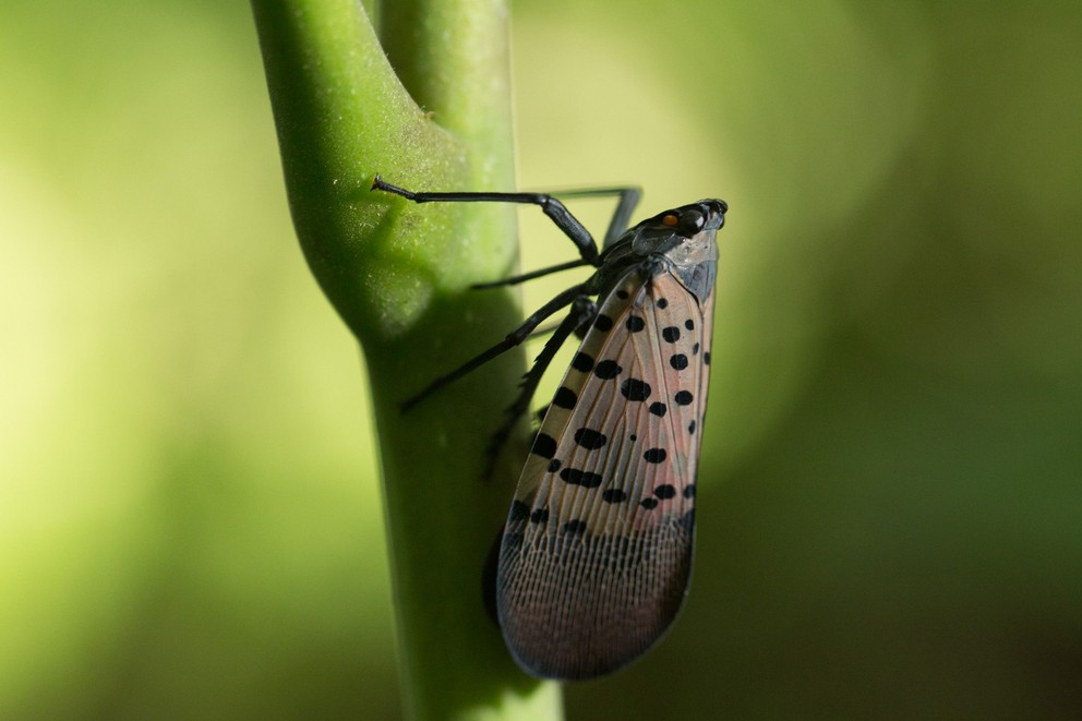 Is Spotted Lanternfly a Concern in the Fall?