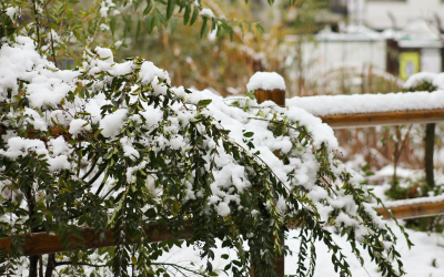 Is the Snow Damaging Your Trees and Plants?