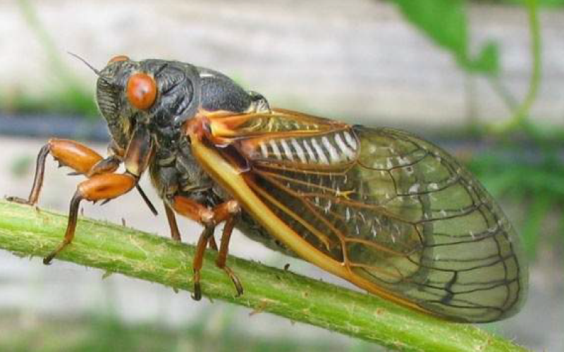 What You Need To Know About the 17-Year Cicada