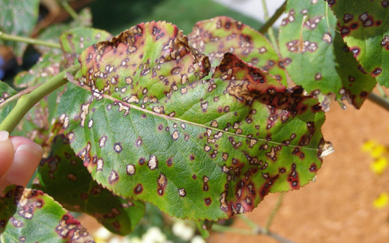 Understanding the Plant Disease Triangle