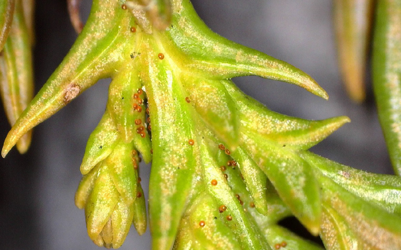 Do You Have Spruce Spider Mites?